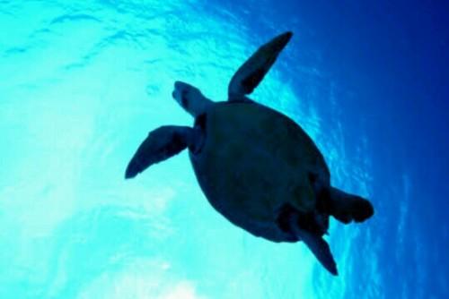 亀が泳いでいる夢