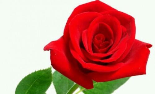 薔薇の夢占い