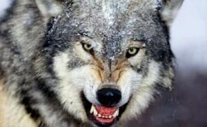 [夢占い]狼(オオカミ)の夢が示す身近な危険とは?