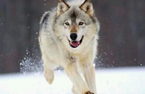 狼に追われる夢