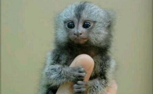 手乗り猿の夢