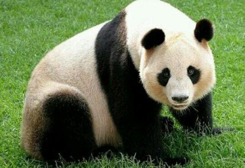パンダの夢