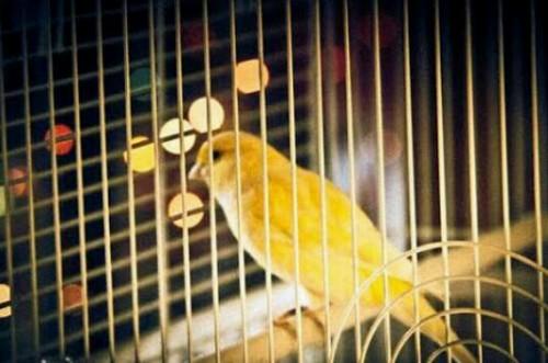 籠の中の鳥の夢