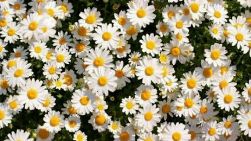 満開の花の夢