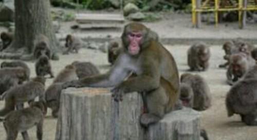 ボス猿の夢