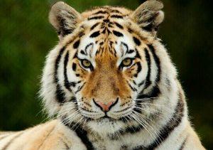 [夢占い]虎があらわすアナタの本当の強さとは?