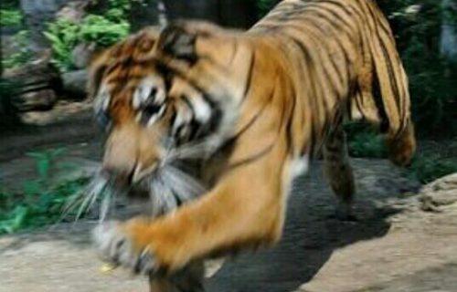 虎が襲ってくる夢