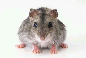 [夢占い]鼠(ネズミ)の夢が伝える本当のメッセージとは?