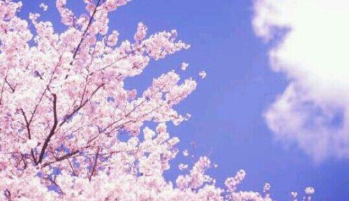 [夢占い]桜の夢が暗示する儚さとは?
